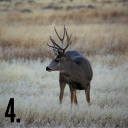 Buck Number 4